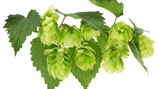 Hops may have a beneficial effect on your oral health.
