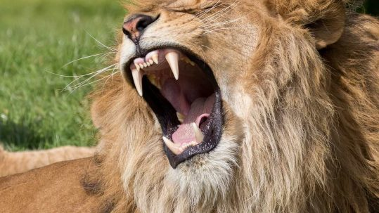 A lion has carnassials instead of molars.